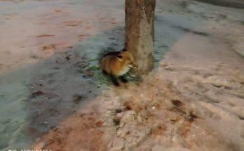 ручную лису
